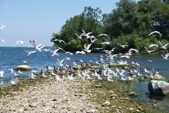 Lake-Erie-Islands-Gulls