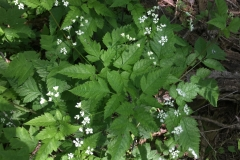 Sweet-Cicely-at-Cleveland
