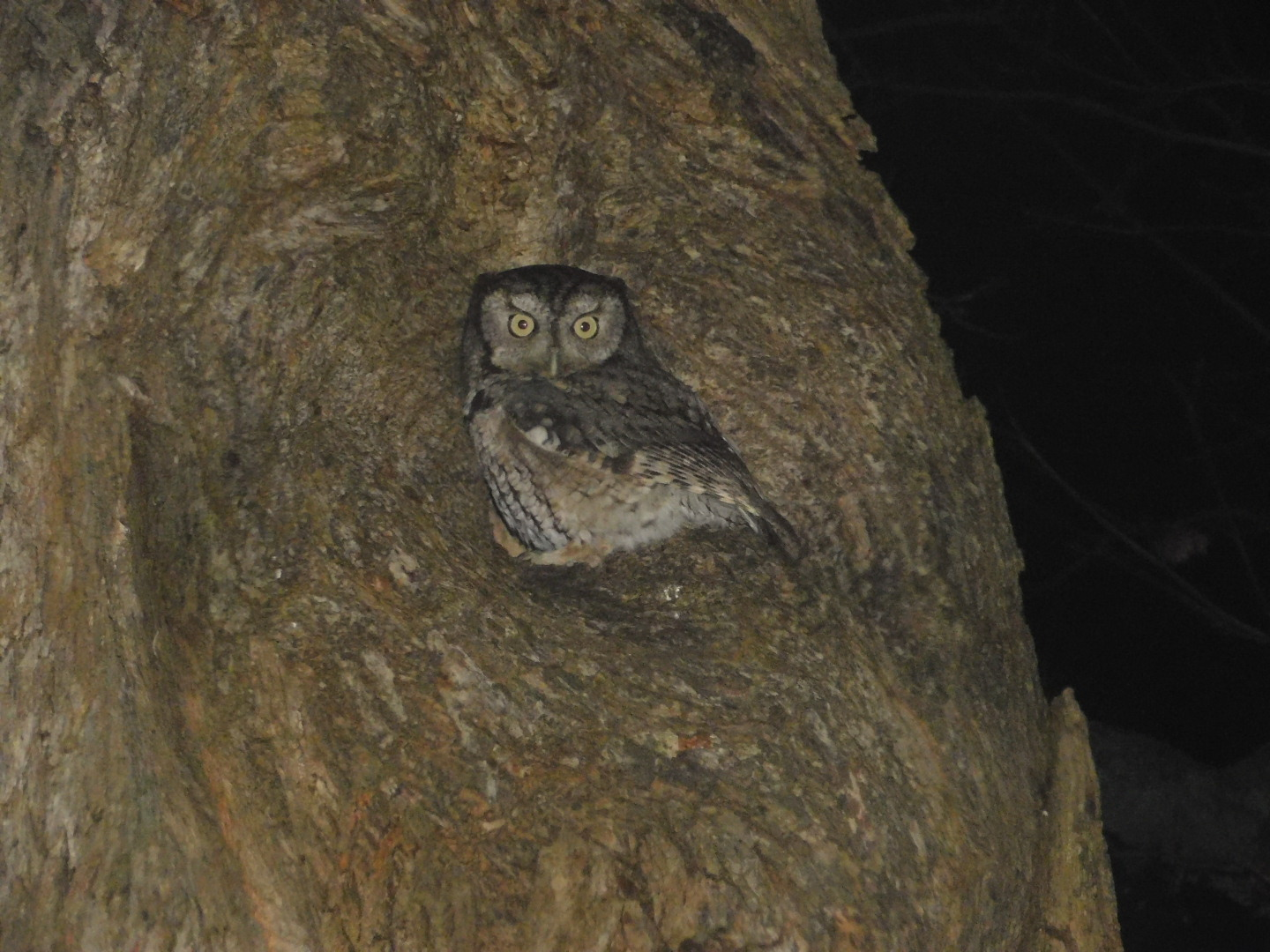 Eastern Screech Owl by Sandy Funtal