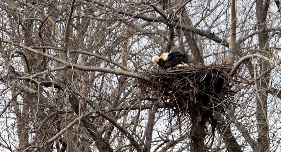 Nesting Bald Eagles at Petersen's Woods, Lake Erie Middle Bass Island
