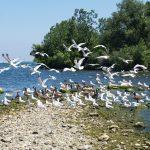 Lake Erie Islands Gulls